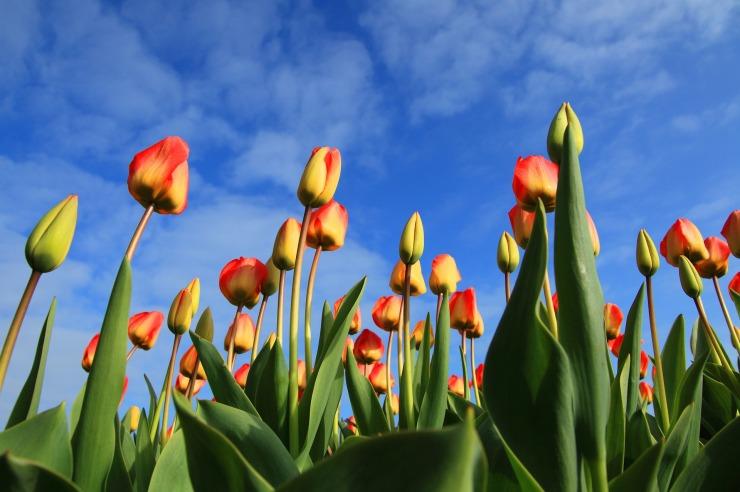 tulips-21598_1920